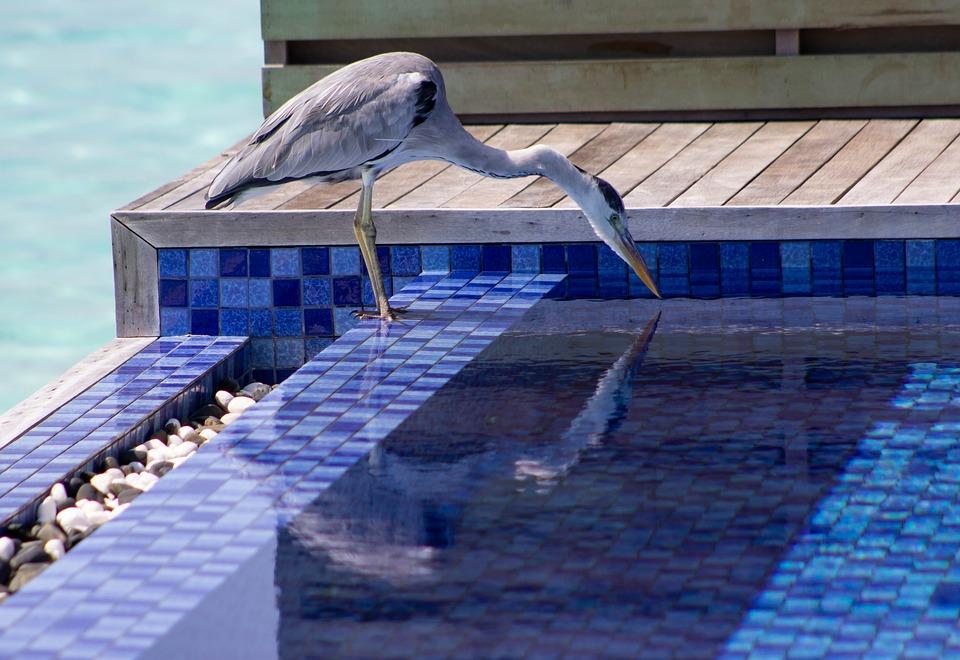 volavka u bazénu